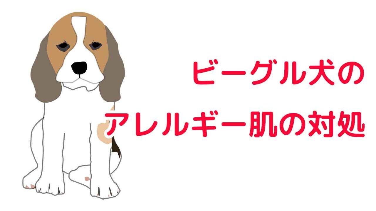 ビーグル犬のアレルギー肌の対処