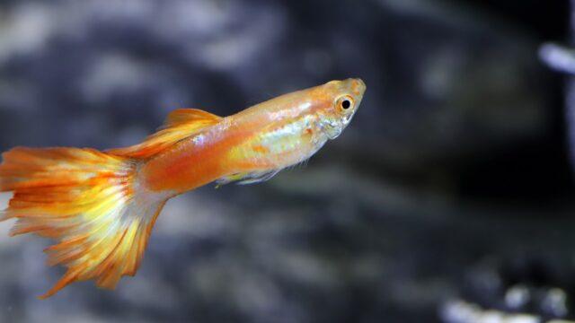 実は人懐っこい熱帯魚