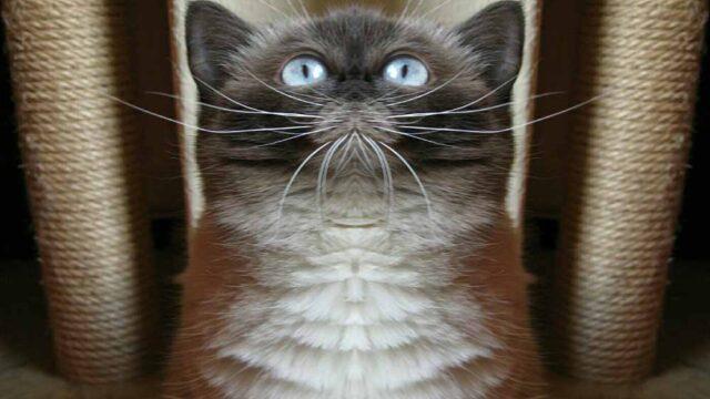 ブリティッシュショートヘアと茶トラ白猫を飼って良かったこと・困ったこと